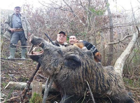 Köylüyü Akşamları Dışarı Çıkartmayan Domuz Ormanlık Alanda Avlandı! Tam 400 Kilo