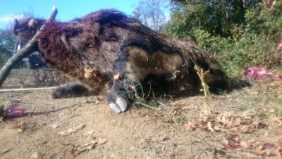 Bilecik'te Avcılar Rekor Kırdı! Tam 300 Kiloluk Domuz Vurdular