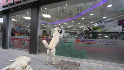 Kocaeli'nde Duygulandıran Görüntüler! Köpekler Patileriyle Camı Tıklatıyor, Kasap Yemeklerini Getiriyor