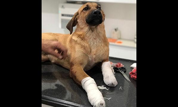 Korkunç! Yavru Köpeği Bacaklarından Vurdular