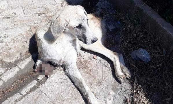 Vahşet Bitmiyor! Gaziantep'te Sokak Köpeği, Kuyruğu ve Ayağı Kesilmiş Halde Bulundu
