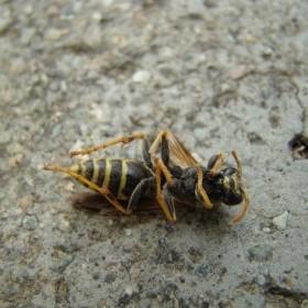 Arının Müthiş Mucizesi! Hem Ölüsü Hem Dirisi Muazzam Fayda Sağlıyor