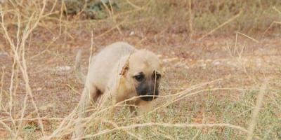Gaziantep'te Büyük Vicdansızlık! Yavru Köpeğin Kulaklarını Kesip Boş Araziye Attılar
