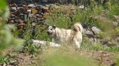 Kars'ta Kuduz Karantinası! Tilkinin Isırdığı Köpekte Kuduz Olduğu Belirlendi