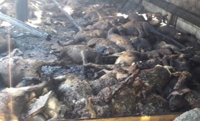 Korkunç Manzara! Siirt'te Çıkan Yangında Çok Sayıda Koyun Telef Oldu