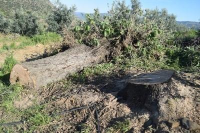 Manisa'da Korkunç Olay! Eşinin Kestiği Ağacın Altında Feci Şekilde Can Verdi