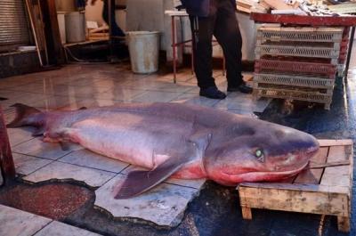 Mersin'de Adeta Bir Canavar Yakalandı! Tam 5 Metre Ve 300 Kilo Ağırlığında
