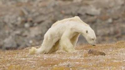 Tüm Dünya Bu Görüntüleri Konuşuyor! Küresel Isınma Yüzünden Açlıktan Ölmek Üzere Olan Kutup Ayısı Görenlerin İçini Sızlattı